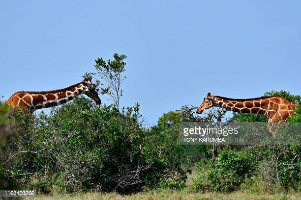 Giraffe browse over a thicket on August 23 2019 at the Ol Pejeta conservancy in Nanyuki just before dusk on the plains at the foot of Kenya's highest...