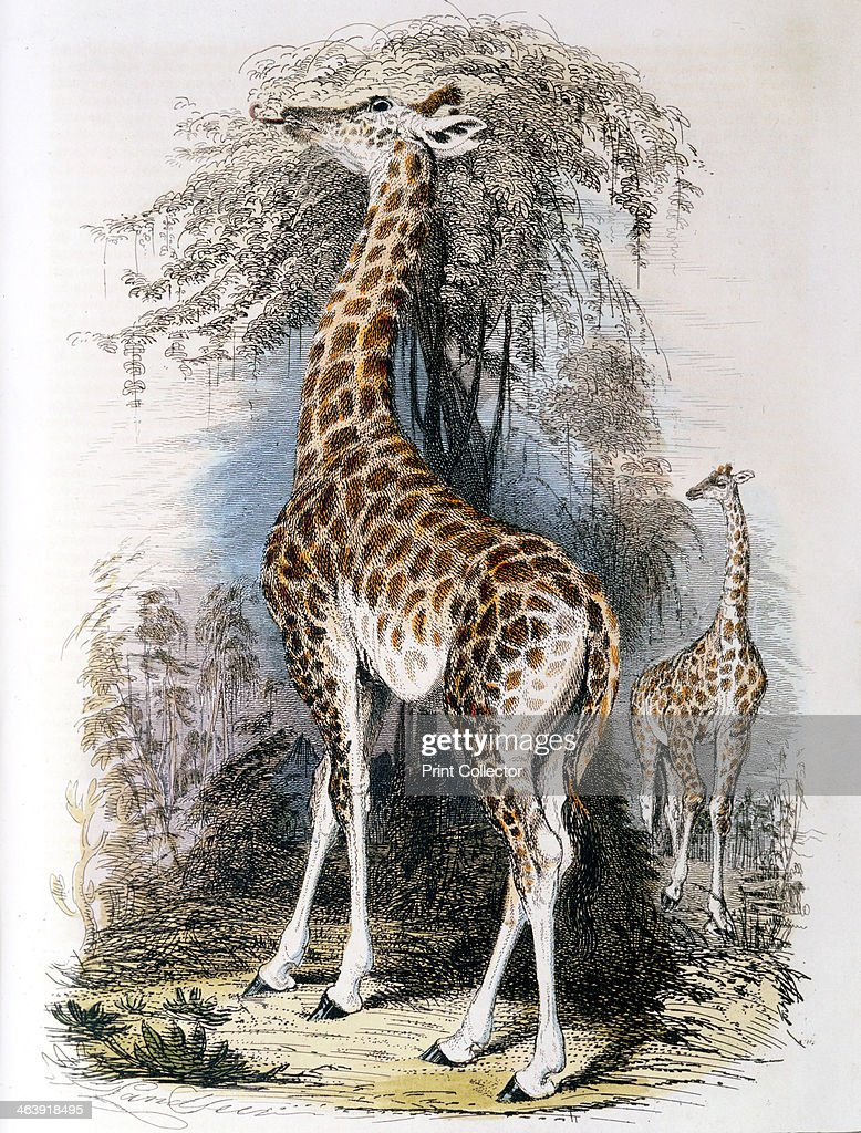 Giraffe browsing on a tree, 1836. : News Photo