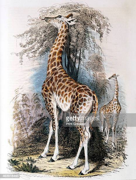 Giraffe browsing on a tree 1836 JeanBaptiste Lamarck French naturalist considered that the giraffe illustrated 'Transformism' his theory of evolution...