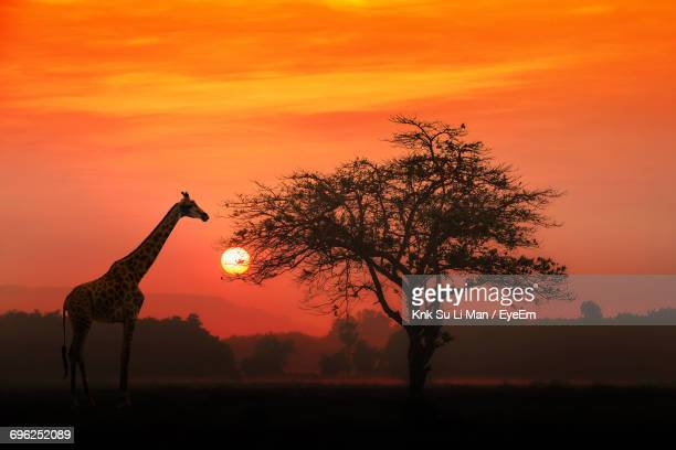 Giraffe By Tree On Field Against Sky During Sunset