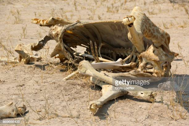 giraffe cadaver, etosha nationalpark, namibia - überleben stock pictures, royalty-free photos & images