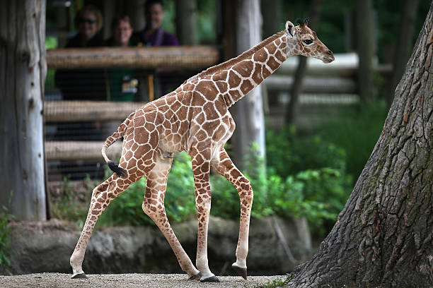 Baby Giraffe Makes Debut At Brookfield Zoo Photos and Images | Getty ...