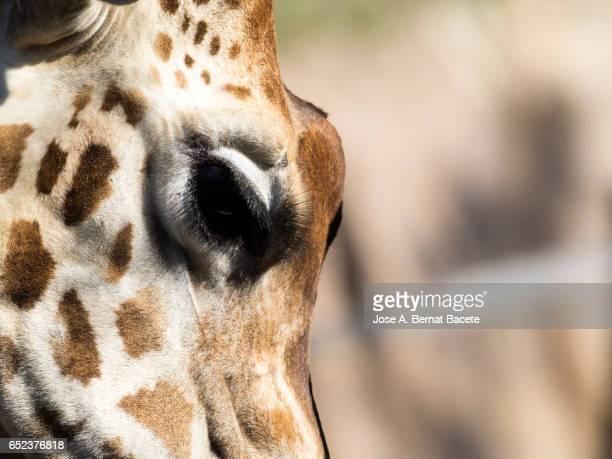 Giraffe (Giraffa camelopardalis) close up, of the head and the eye