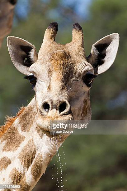 Giraffe, close up