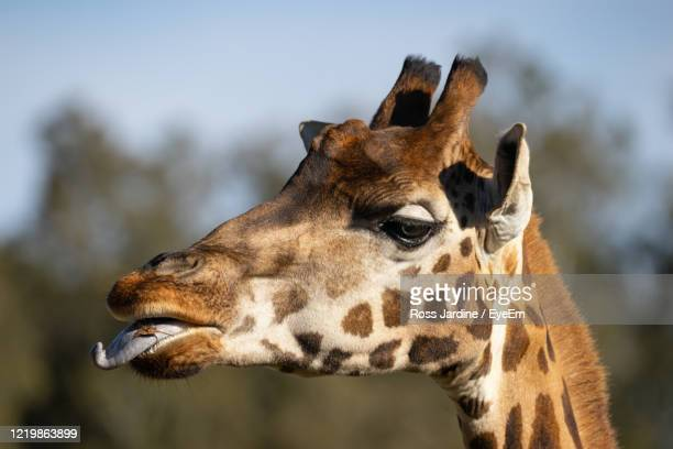 giraffe close-up - batemans bay stock pictures, royalty-free photos & images