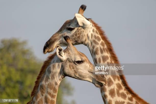 primo-up giraffa - erbivoro foto e immagini stock
