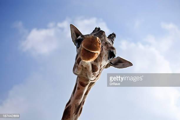 giraffe, nahaufnahme - großwild stock-fotos und bilder