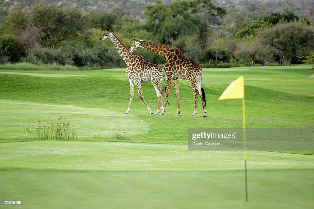 Giraffe cross the 1st hole at dusk at The Leopard Creek Country Club Golf, on July 04, 2004 in Malelane, South Africa.