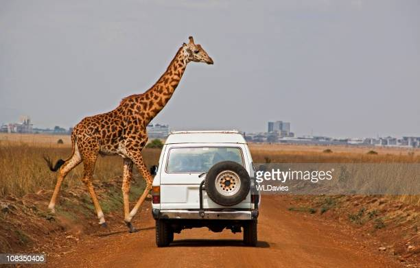 Giraffe crosses dusty road in front of white car
