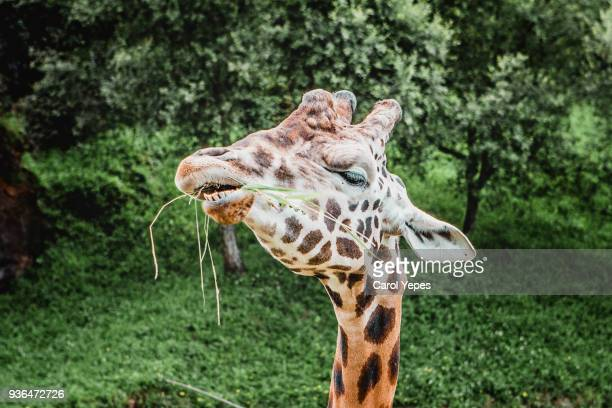 Giraffe eating a piece of grass