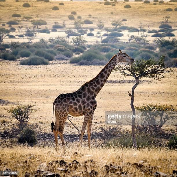 Giraffa mangiare foglie su un albero in Damaraland, Namibia