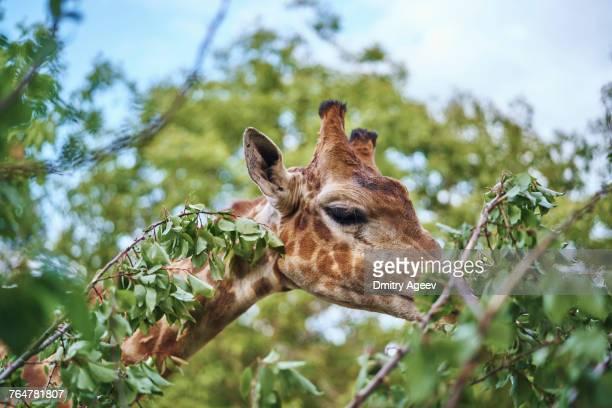 Giraffe eating leaves on branch