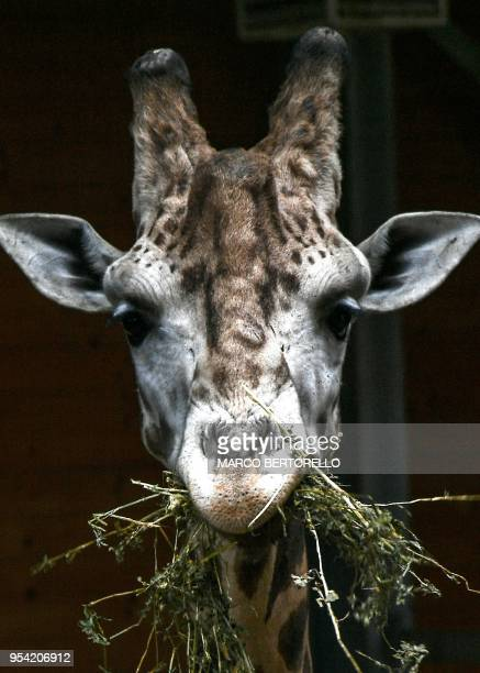 A giraffe eats on May 3 2018 at the 'Zoom Torino' zoo in Cumiana near Turin
