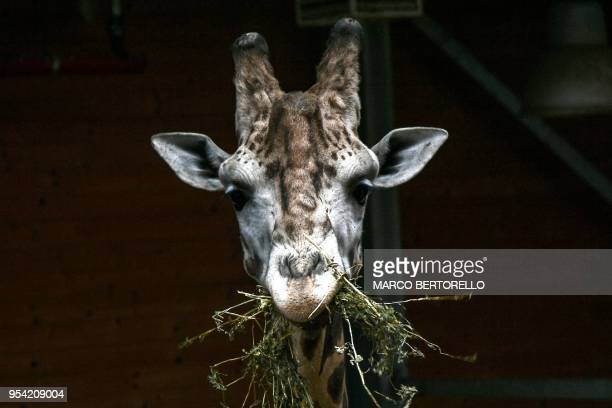 TOPSHOT A giraffe eats on May 3 2018 at the 'Zoom Torino' zoo in Cumiana near Turin