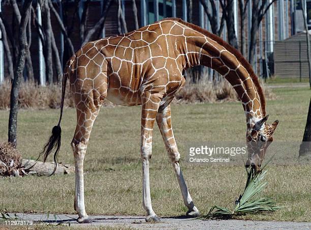 A giraffe eats palm fronds at Disney's Animal Kingdom in Orlando Florida Thursday February 8 2007 Giraffe researcher Jennifer Fewster is working on...