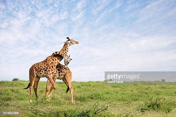 giraffe embrace - tanzania stock pictures, royalty-free photos & images
