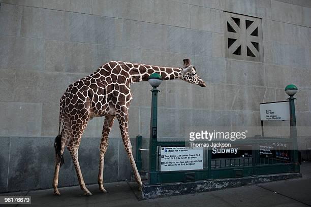 Giraffe entering subway