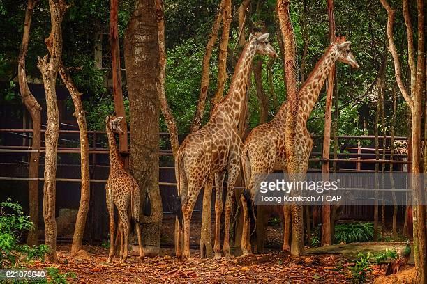Giraffe family in forest