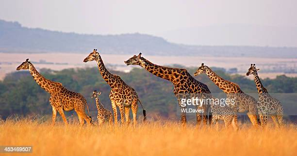 giraffe family - kenya stock pictures, royalty-free photos & images