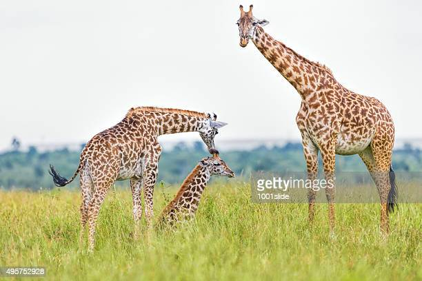 giraffe family - female animal stock pictures, royalty-free photos & images