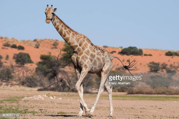 giraffe female walking in the dry auob wadi, kgalagadi transfrontier park, south africa - franz aberham foto e immagini stock