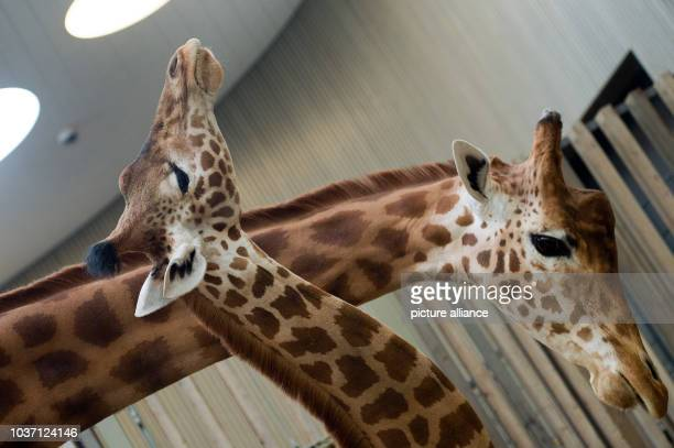 Giraffe Gaia and giraffe Diko get to know each other at the giraffe house of the zoo of Dresden Germany 24 April 2015 The Giraffe of the Touroparc...