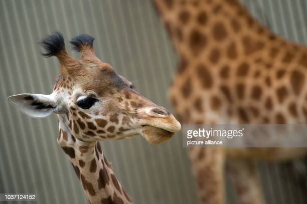 Giraffe Gaia walks through the giraffe house at the zoo of Dresden Germany 24 April 2015 The Giraffe of the Touroparc zoo in French RomanecheThorins...