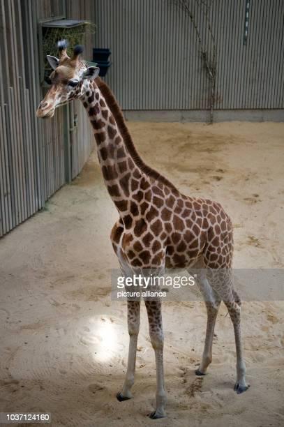 Giraffe Gaia walks through the giraffe house at the zoo of Dresden Germany 24 April 2015 The Giraffe of the Touroparc zoo in French RomanecheThorins...