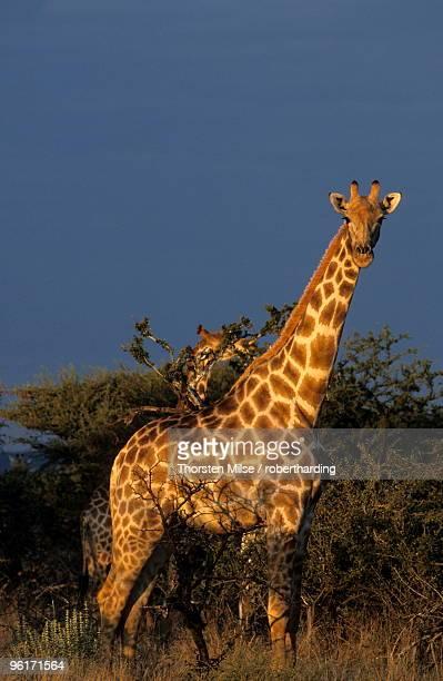 giraffe, giraffa camelopardalis, erongo region, namibia, africa - erongo stock photos and pictures