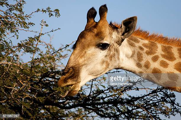 giraffe -giraffa camelopardalis- feeding, kruger national park, south africa - animal digestive system stock photos and pictures