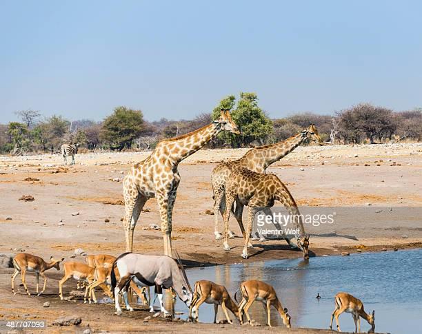 giraffe -giraffa camelopardalis-, gemsbok -oryx gazella- and black faced impala -aepyceros melampus petersi- drinking at chudob waterhole, etosha national park, namibia - waterhole stock pictures, royalty-free photos & images
