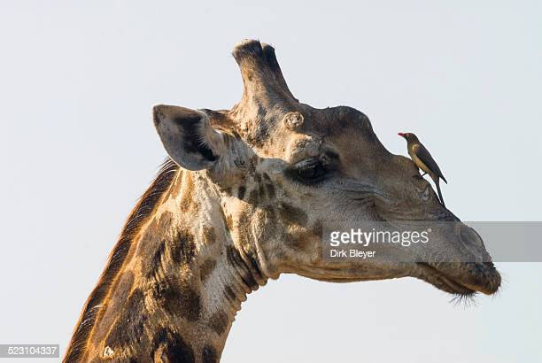 Giraffe -Giraffa camelopardalis- with a Red-billed Oxpecker -Buphagus erythrorhynchus- on its head, Kruger National Park, South Africa