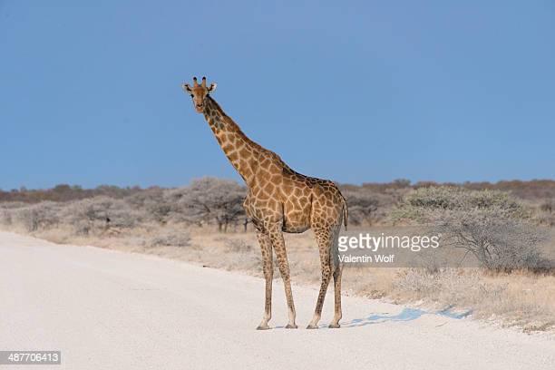 Giraffe -Giraffa camelopardis- crossing a road, Etosha National Park, Namibia