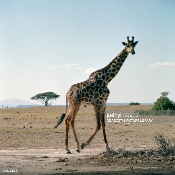 Giraffe Giraffidae