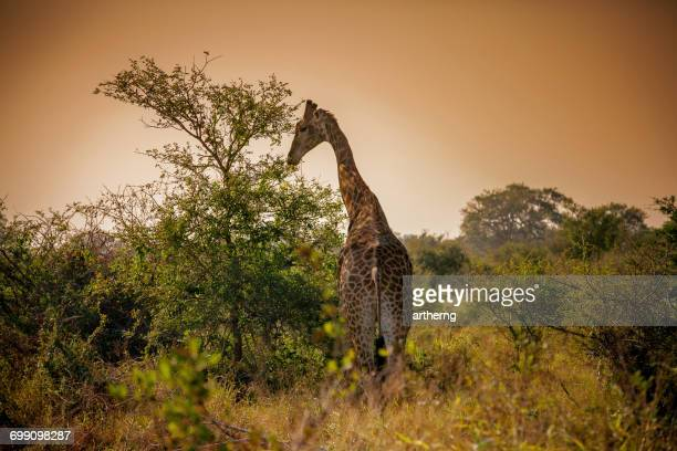 Giraffe Grazing at sunset, Kruger National Park, South Africa