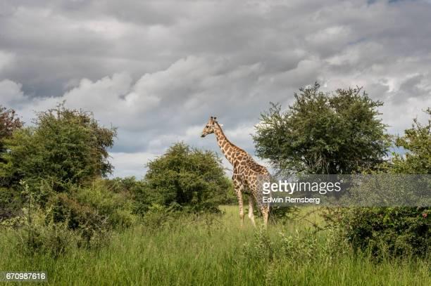 Giraffe grazing in Etosha