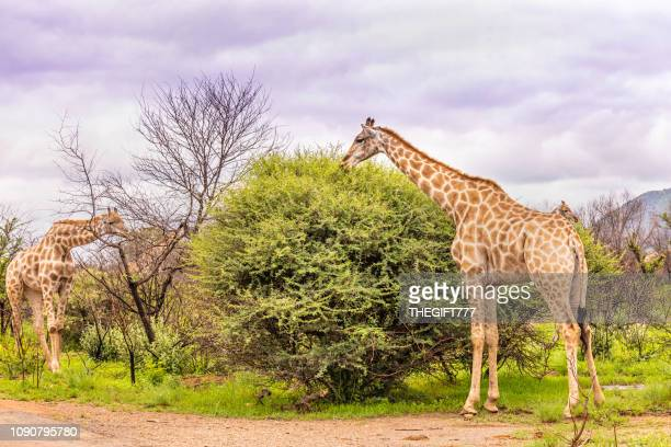 giraffe grazing (giraffa camelopardalis) - national park stock pictures, royalty-free photos & images