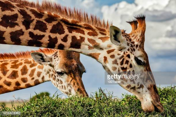 giraffe grazing top of the acacia thorn tree at wild - herbivorous stock pictures, royalty-free photos & images