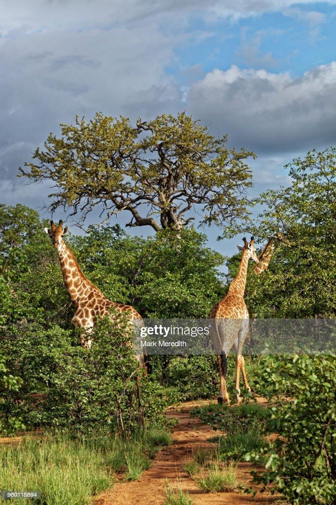 Giraffe group in the Klaserie Reserve, Greater Kruger National Park : Stock-Foto