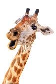 Giraffe head face look funny