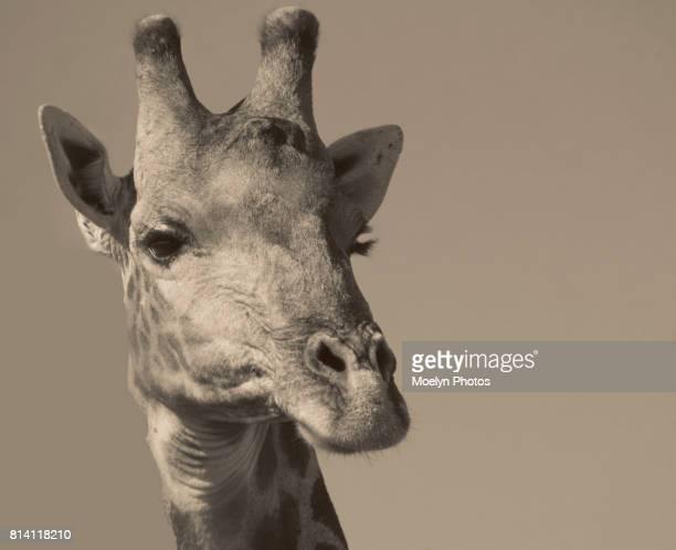 Giraffe Head Shot-Black and White