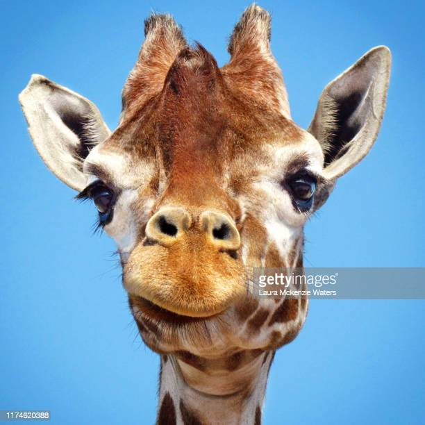 giraffe headshot - animal nose stock pictures, royalty-free photos & images