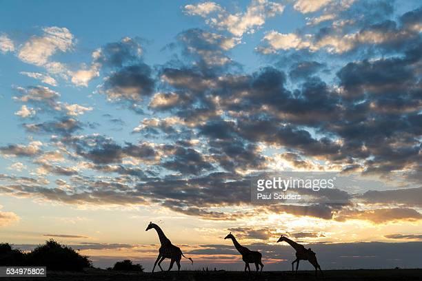 Giraffe Herd along Chobe River, Chobe National Park, Botswana