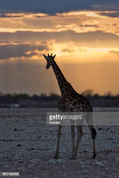 Giraffe im sunset cup coral