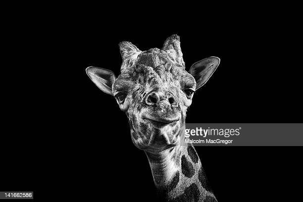 giraffe in black and white - white giraffe stockfoto's en -beelden