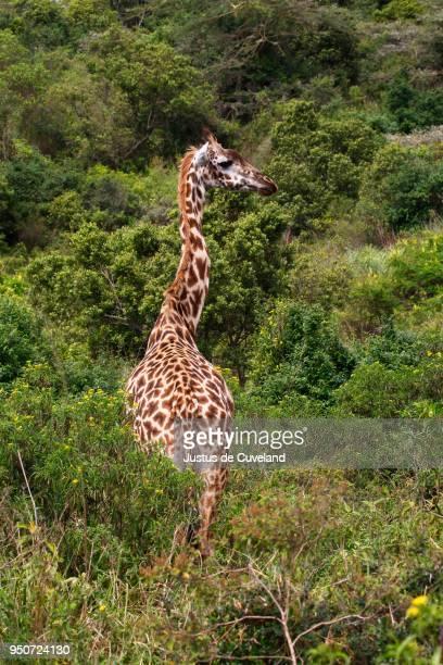giraffe (giraffa camelopardalis) in dense bushland, arusha national park, tanzania - arusha national park stock photos and pictures