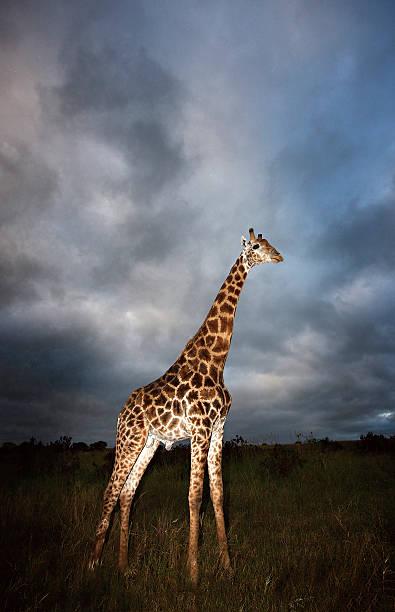 Giraffe (Giraffa camelopardalis) in dramatic light, Kruger National Park, Mpumalanga Province, South Africa