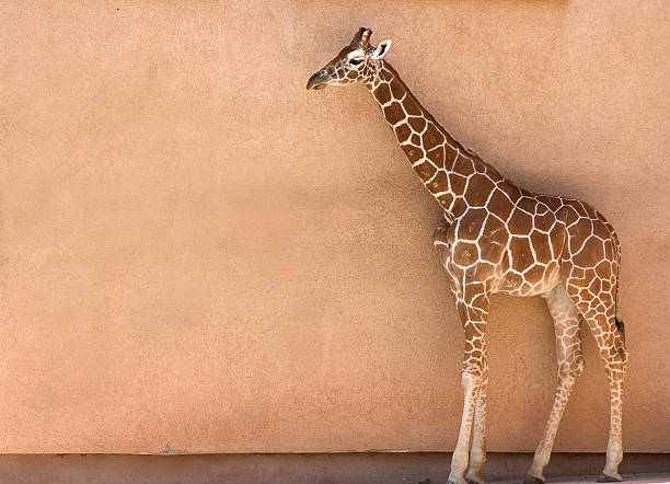 Giraffe in fornt of wall