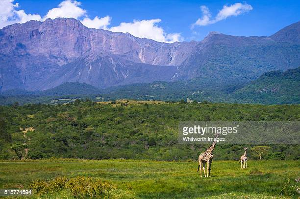 giraffe in front of mt meru, arusha national park, tanzania - mount meru stock photos and pictures