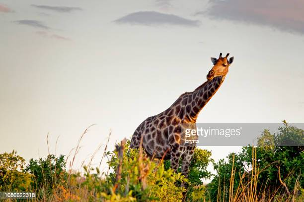 giraffe in hwange national park,zimbabwe - zimbabwe stock pictures, royalty-free photos & images